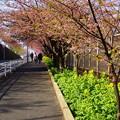 写真: 河津桜咲く三浦海岸-298
