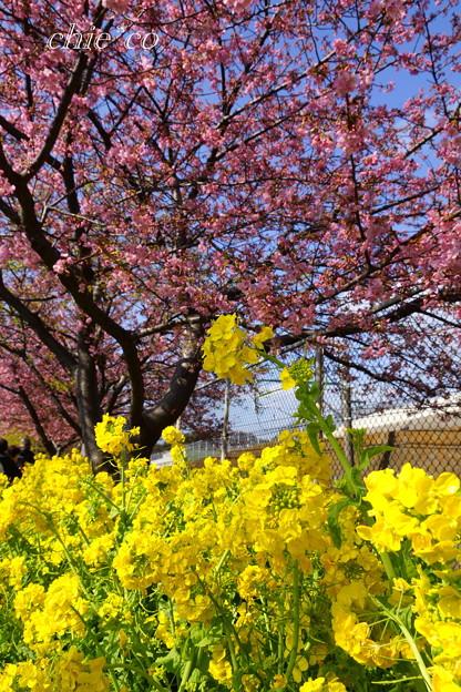 写真: 河津桜咲く三浦海岸-299