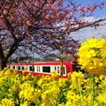写真: 河津桜咲く三浦海岸-301