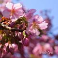 写真: 河津桜咲く三浦海岸-296