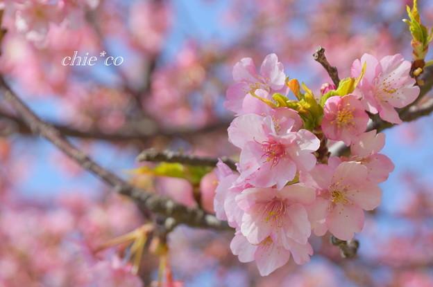写真: 河津桜咲く三浦海岸-303