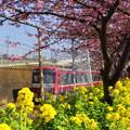 写真: 河津桜咲く三浦海岸-310