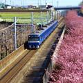 写真: 河津桜咲く三浦海岸-313