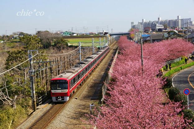 河津桜咲く三浦海岸-314