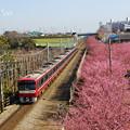 写真: 河津桜咲く三浦海岸-314