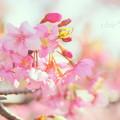 写真: 河津桜咲く三浦海岸-317
