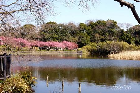 河津桜咲く三浦海岸-323
