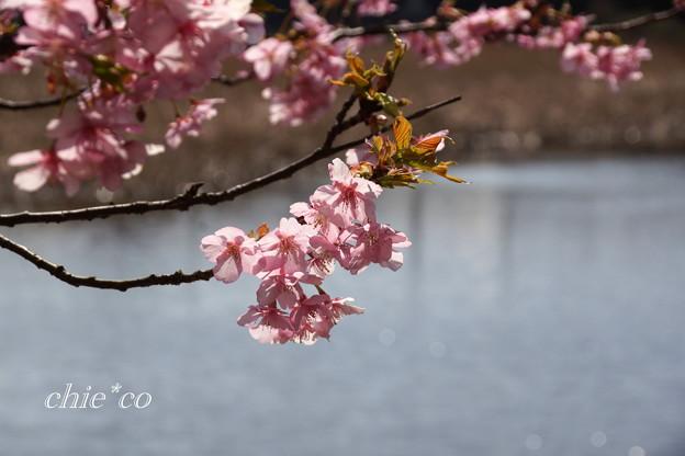 河津桜咲く三浦海岸-324
