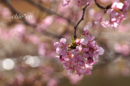 河津桜咲く三浦海岸-330