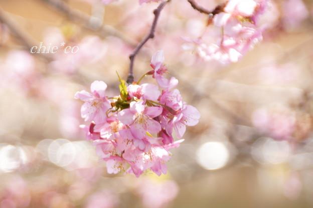 河津桜咲く三浦海岸-331