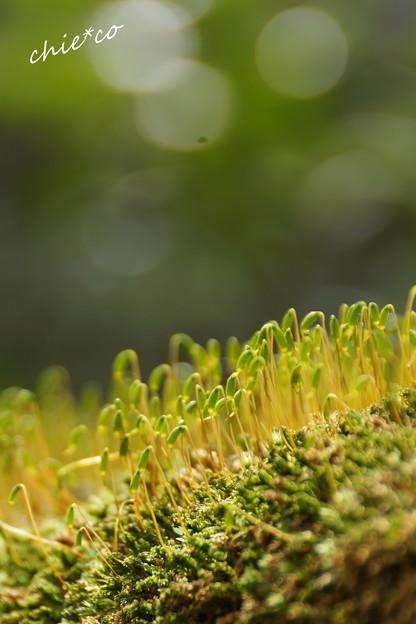 苔の芽・・