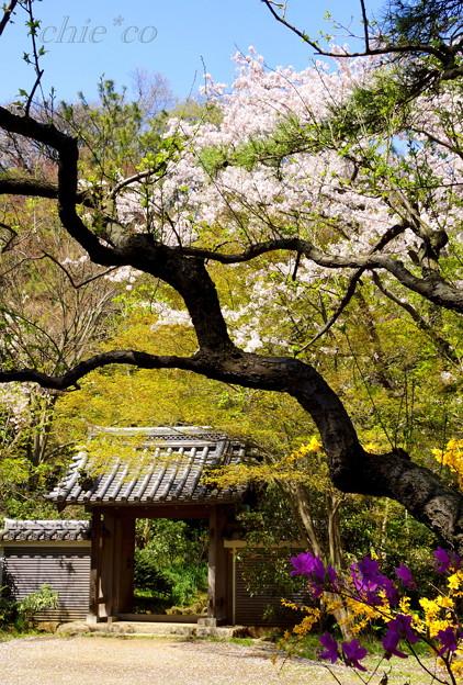 三渓園~桜咲くころ~-263