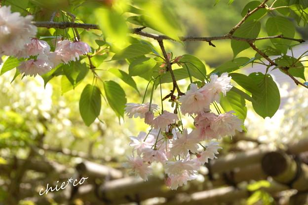 鎌足桜と・・白藤棚と・・