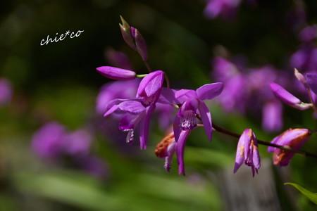 紫蘭(しらん)・・