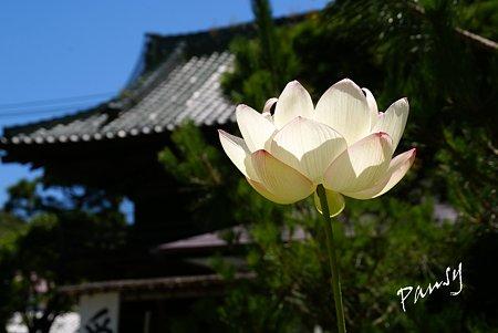 蓮咲く寺院・・2