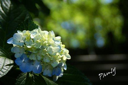 夏の紫陽花・・