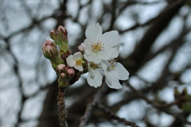 桜咲くっ!!