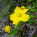 渓に似合う花ですね。