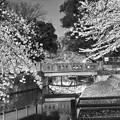 Photos: 夜桜6