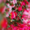 Photos: お花の絨毯