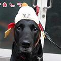 Photos: 黒ラブ「悟天」今月9歳!