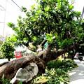 ジャパユキ花の木