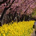 写真: 春の菜の花散歩道!