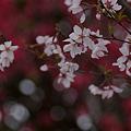 Photos: 彼岸桜!