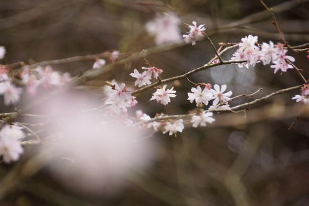 東慶寺十月桜150315-2535