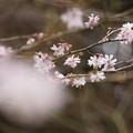 写真: 東慶寺十月桜150315-2535