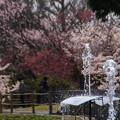 写真: 噴水と桜150322-8045