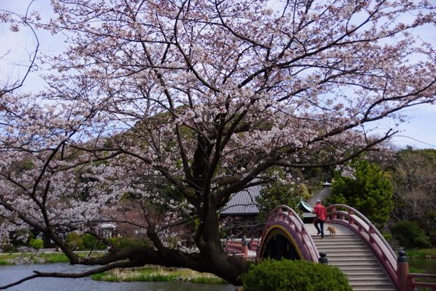 写真: 称名寺m太鼓橋の桜!2015