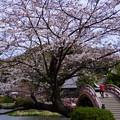 Photos: 称名寺m太鼓橋の桜!2015