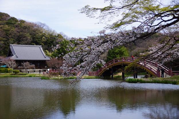 Photos: 称名寺の桜境内!2015