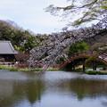 写真: 称名寺の桜境内!2015