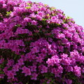 写真: オオムラサキ安養院150502-4275