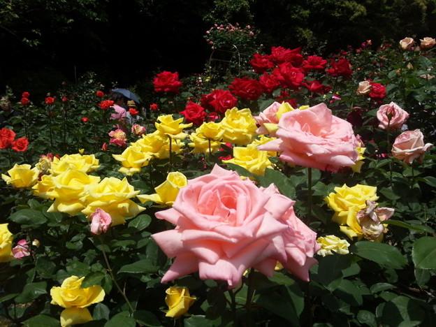 ピンクのバラの彩!2015