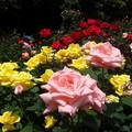 写真: ピンクのバラの彩!2015