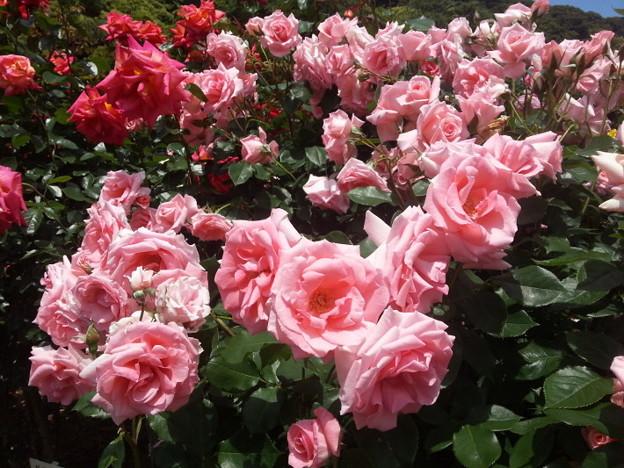 写真: ピンクの春バラの群生!2015