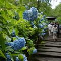 写真: 紫陽花の参道!201506