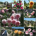 Photos: 薔薇公園に行って来ました