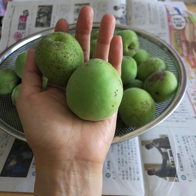 大きな梅の実