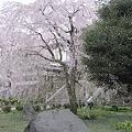 写真: 枝垂桜 (3)