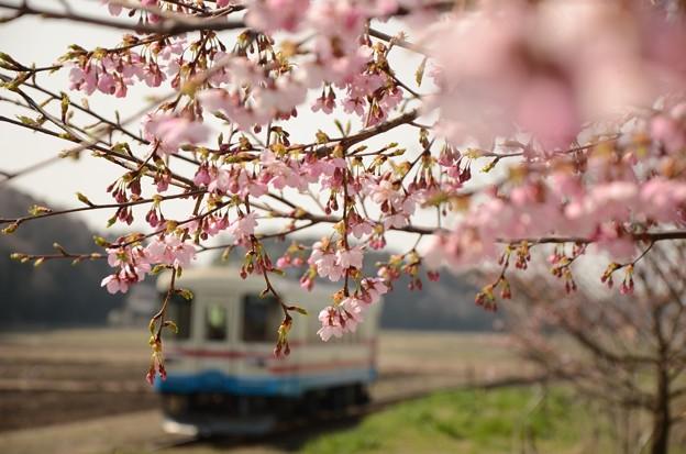 湊線中根駅 桜開花♪