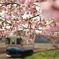 Photos: 湊線中根駅 桜開花♪