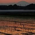 夕暮れの田圃に渡り鳥 ムナグロ