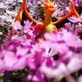 写真: リザードン in 花園 (メガ)