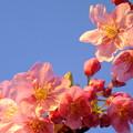 朝焼けの河津桜