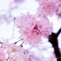 Photos: Sakura-0550