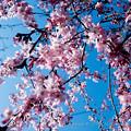 Photos: Sakura-0571